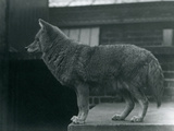 A Coyote at London Zoo  October 1920