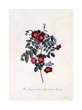 The Royal Virgin Rose Without Thorns  C1745