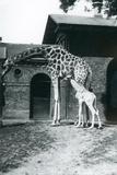 Giraffe with 3 Day Old Baby and Keeper at London Zoo  1914