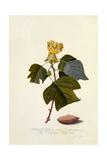 The Virginian Tulip Tree  C1743