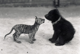 Tiger Cub Meets Bear Cub  1914