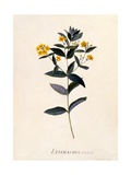 Yellow Loosestrife  C1760