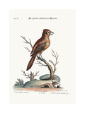 The Crested Red or Russit Butcher-Bird  1749-73