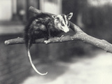 White-Eared Opossum on a Branch in London Zoo  December 1918