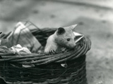 A Young Albino Opossum Peering Out of a Basket at London Zoo  October 1920