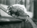 Weid'S/Big-Eared Opossum on a Branch at London Zoo  November 1915