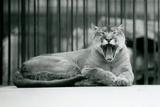 A Mountain Lion Yawning at London Zoo  1928