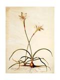Lilio Narcissus  C1745