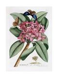 Plumeria  C1749