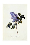 The Deep-Purple Lilac  C1743
