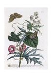 Abutilon and Convolvulus  C1748