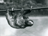 A Three-Toed Sloth Slowly Makes its Way Along a Pole at London Zoo  C1913