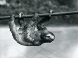 A Three-Toed Sloth Slowly Makes its Way Along a Pole at London Zoo  C1913