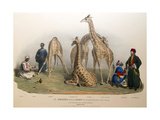 The Giraffes with the Arabs  1836