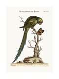 The Long-Tailed Green Parrakeet  1749-73