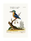 The Crested Kingfisher  1749-73