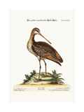 The Greater American Godwit  1749-73