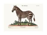 The Male Zebra  1749-73