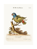 The Blue-Headed Parrot  1749-73