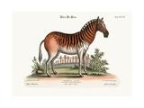 The Female Zebra  1749-73
