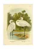 Plumed Egret or Intermediate Egret  1891