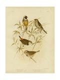 Golden Grass Finch  1891
