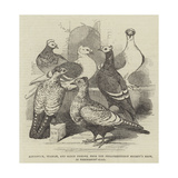 Brunswick  Suabian  and Saxon Pigeons  from the Philoperisteron Society's Show  in Freemasons'-Hall