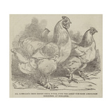 Mr Reynolds's Prize Cochin-China Fowls