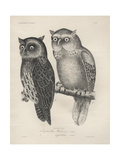 1 Ephialtes Watsonii  2 (Ephialtes) Sagittatus  Litho by JT Bowen  1850