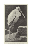 A Learned Judge (Tantalus Stork)
