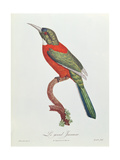 Great Jacamar  Engraved by Gromillier