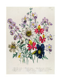 Crane's Bill  Plate 42 from 'The Ladies' Flower Garden'  Published 1842
