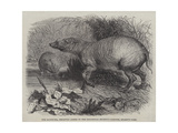 The Babirussa  Recently Added to the Zoological Society's Gardens  Regent's Park
