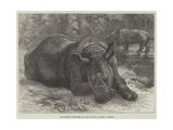 The Sumatra Rhinoceros at the Zoological Society's Gardens