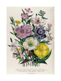 Godetia and Anothera  Plate 8 from 'The Ladies' Flower Garden'  Published 1842