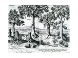 Tropical Fruit Trees  1596