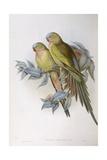Alexandra's Parrot (Polytelis Alexandrae)
