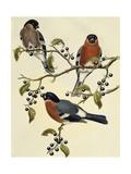 Bullfinch (Pyrrhula Pyrrhula) (1804-1881) United Kingdom  19th Century