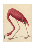 Greater Flamingo  1838