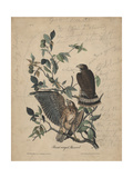 Broad-Winged Buzzard  1840