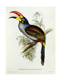 Pteroglossus Hypoglaucus from 'Tropical Birds'