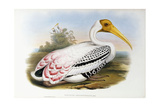 White-Headed Ibis; Tantalus Leucocephalus  C1850-1873 (Hand-Finished Colour Lithograph)