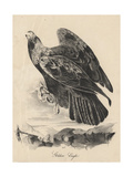 Golden Eagle  Litho by JT Bowen  from 'Birds of America'  1840