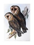 Australian Masked-Owl (Strix Personata)