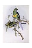 Mallee Ringneck (Platycercus or Barnardius Barnardi)