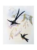 Scissor-Tailed Hummingbird (Hylonympha Macrocerca)