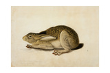 Black-Tailed Hare  1841