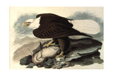 Bald Eagle  1828