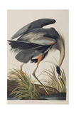Illustration from 'Birds of America'  1827-38 (Hand-Coloured and Aquatint)