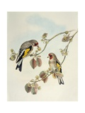 European Goldfinch (Carduelis Carduelis Caniceps)